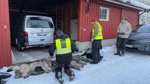 I januar ble ulv flyttet inn i ulvesonen for å unngå å bli skutt. Senterungdommen mener at Norge ikke er tjent med å ha ulv i det hele tatt.