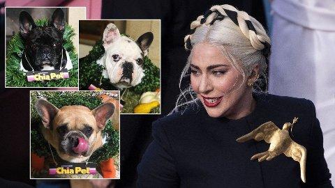 SAVNET: To av Lady Gagas hunder er stjålet og stjernen utlover gigantisk dusør.