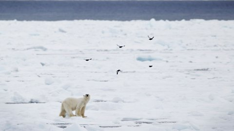 Isbjørnen er avhengig av is for å jakte sel, men isen blir stadig mindre og sesongen kortere. Det fører til at isbjørn i større grad forsøker å mette seg på fugleegg.