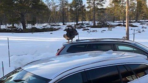 En mann i i Oppdal måtte låse seg inne i bilen sin. En meget sint tiur plager mennesker og hunder på stedet. Foto: Sissel Kilsand / NTB