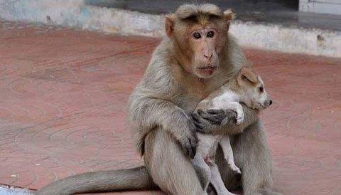 OMSORG: Apekatten har adoptert den lille løshunden.