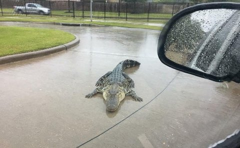 ALLIGATOR: Fort Bend County Sheriff's Office har offentliggjort flere bilder av alligatorer som har søkt ly for orkanen Harvey i boligområder.