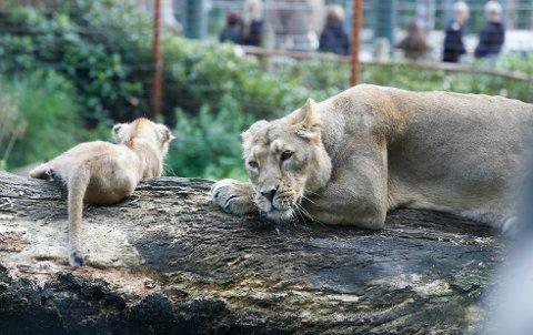 VERRE ENN ANTATT: Dyrevernforskere mener at både løver og geparder er mer utryddingstruet enn det den såkalte rødlista antyder, og mener at Afrikas store kattedyr også bør kategoriseres som utryddingstruet, i likhet med den asiatiske tigeren.