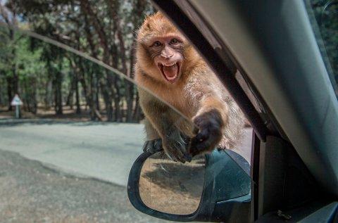 En makak-apekatt leter etter mat i Marokko i slutten av april 2020. Det skal ha vært en apekatt av denne typen som stjal koronaprøver i India i slutten av mai. Illustrasjonsfoto.