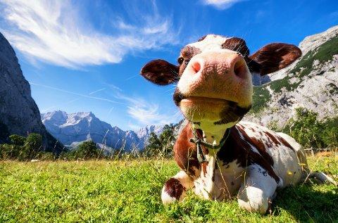 En østerriksk ku nyter livet ved fjellkjeden Karwendel i de tyrolske Alpene.