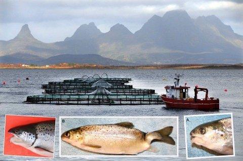 DEFORMERT: Cermaq er hjørnesteinsbedrift i Steigen kommune i Nordland. Her tester de blant annet ut oppdrett av triploid, steril laks. Triploid fisk er mer utsatt for deformiteter enn normal laks, ifølge forskningen.