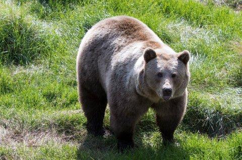 Jegere og svensk politi er på jakt etter en skadeskutt bjørn som beveger seg i området rundt Torsby. Her en bjørn i Namsskogan familiepark i 2017.Illustrasjonsbilde.