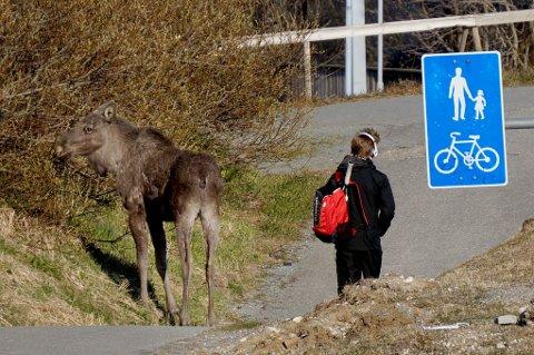 IKKE SKVETTEN: En elg var på besøk i nabolaget på Nedre Bjørkåsen i Bodø onsdag kveld. En forbipasserende mann brydde seg lite om at det sto en stor elg bare få meter unna der han passerte på gangstien.