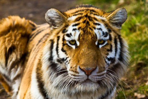BLE BITT: En 33-årig kvinne prøvde å klappe en tiger, men ble bitt.