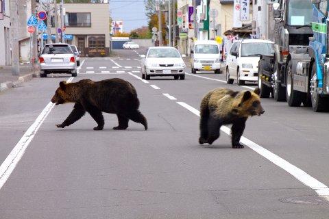 STOR BJØRNEBESTAND: Japan har en stor bjørnebestand. I 2010 kom disse to bjørnene vandrende i bygata i Shari på Hokkaido.