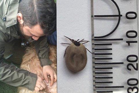 BITT AV FLÅTT: Denne flåtten sugde seg fast i hunden, og veterinær Leon cantas måtte fjernet den.