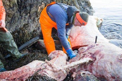 Fredag ettermiddag var en rekke personer på plass for å åpne og sjekke innholdet i hvalen.