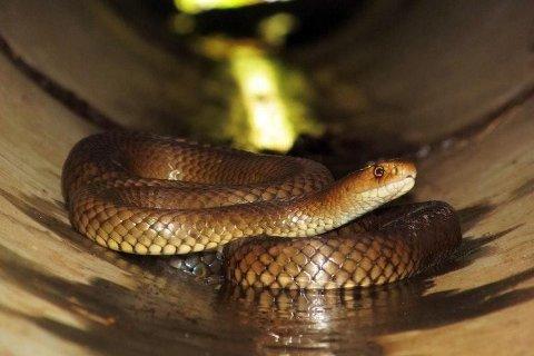 Illustrasjonsfoto: Brunslangen som blant annet finnes i Australia. Slangen er verdens nest giftigste og både aggressiv og hurtig.