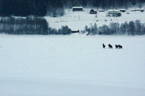 ELG: Disse fire elgene vandrer rundt på Mjøsisen søndag ettermiddag.