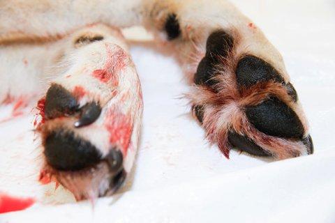 SKAL AVGJØRE: En godt voksen ulv på nærmere 50 kilo ble skutt på Ringsaker i november. Nå skal Oslo tingrett avgjøre om både lisensjakta utenfor ulvesonen og fellinger innenfor ulvesonen var lovlig.