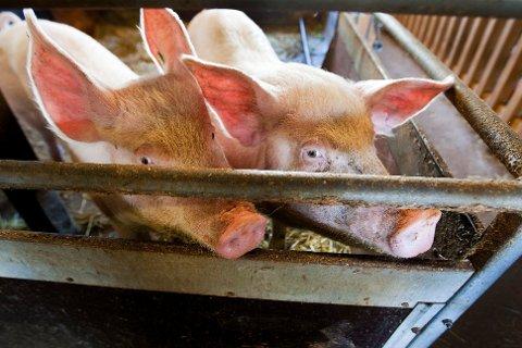 En kartlegging VG har gjort viser at minst fem av sju bønder som er filmet med skjult kamera i dokumentaren, leverer kjøtt til slakterier fremdeles. (Illustrasjonsfoto).