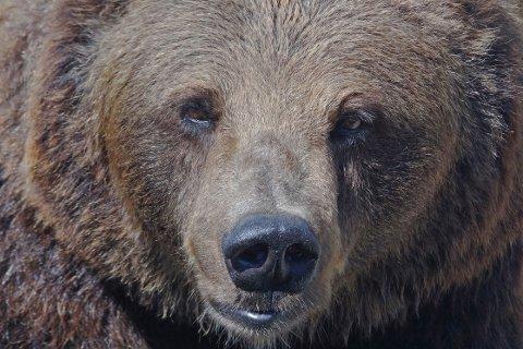 En bjørnebinne er skutt for første gang siden 1890-tallet. Foto: Stian Lysberg Solum / NTB scanpix Foto: Per Løchen / NTB scanpix