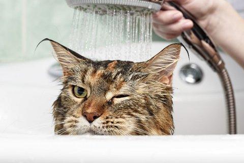 Det har sine naturlige forklaringer at katter ikke liker vann.