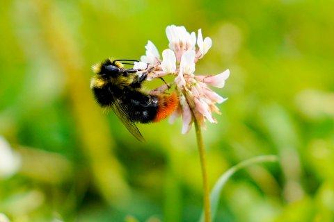 Humler er spesielt nyttige til pollinering av blomster der bier ikke strekker til. De fleste humlearter har så lang tunge at de kan nå ned gjennom for eksempel kløverblomstens kronrør, mens det bare er enkelte raser av honningbien som kan klare dette. Foto: Fredrik Hagen / NTB