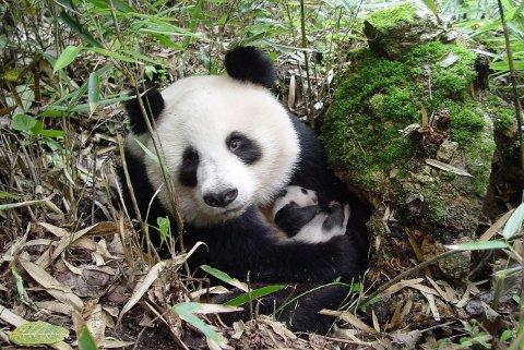 PANDA MED UNGE: En panda med unge fotografert i Shaanxi provinsen i Kina.