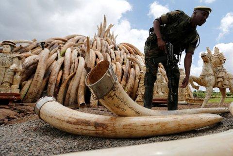 En kenyansk viltvokter stabler støttenner i Nairobi nasjonalpark, der over 100 tonn elfenbein ble påtent lørdag.