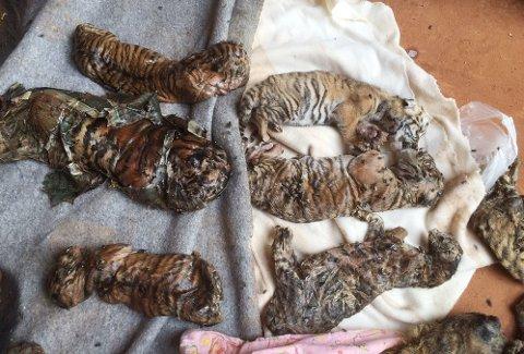 LEVNINGENE: Under gjennomsøkingen av tempelet ble det funnet førti døde tigerunger i en fryser.