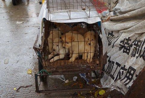 Hundevalper i bur på et hundekjøttmarked i Yulin i Kina under fjorårets hundekjøttfestival.