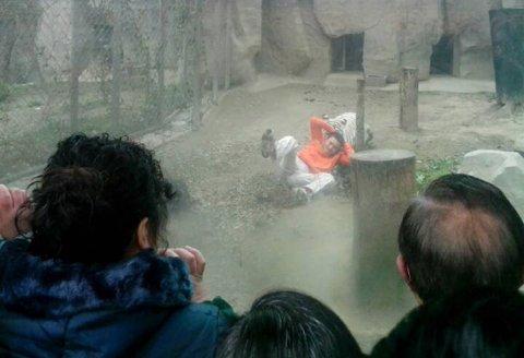 TOK TAK I SKJORTEN: En kinesisk mann kastet seg ned til noen hvite tigre i fangenskap i en dyrehage. Én av tigrene tok tak i skjorten og dro mannen bortover langs bakken.