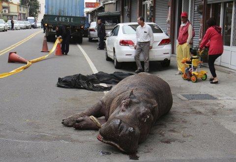 En skadd flodhest skapte rabalder på vei mot Taichung i Taiwan 2. juledag. Flodhesten skal ha brukket beinet og flere tenner i ulykken.