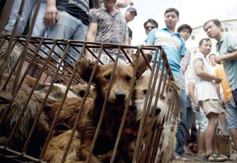Hundene venter i dagevis i trange bur uten vann og mat før de brutalt drepes og slaktes.