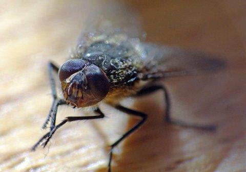 FLUESESONG: I varmen vokser fluene fire ganger så fort, derfor er det flere fluer i sommer. På bildet ser vi en stor husflue.