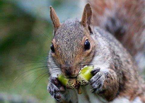 I Colorado i USA har man nå funnet et ekorn som har testet positivt for byllepest.