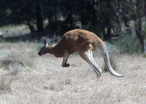 En kenguru i sitt naturlige habitat. Det hører med til sjeldenhetene at de hopper inn i sentrum av storbyer, iallfall i hjertet av millionbyene i Australia. Illustrasjonsfoto: Erik Johansen / NTB scanpix