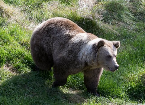 En brunbjørn i Namsskogan familiepark i Trøndelag. Arkivfoto: Berit Roald / NTB scanpix