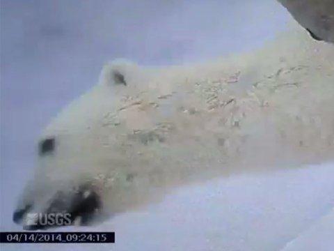 PÅ ISEN: Videoopptakene er gjort for at forskerne skal kunne studere isbjørnens atferd i et polhav der havisen er på vikende front.