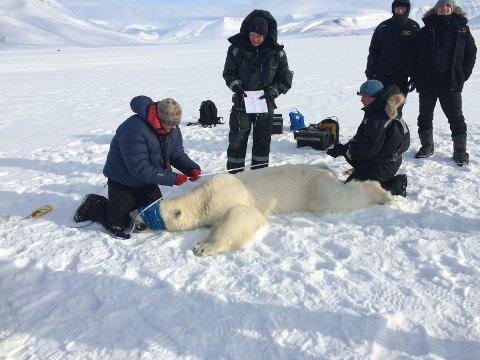 Personell fra Norsk Polarinstitutt bedøvet isbjørnen.