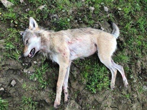 SKUTT: Denne ulven ble skutt i Sør-Odal tirsdag.