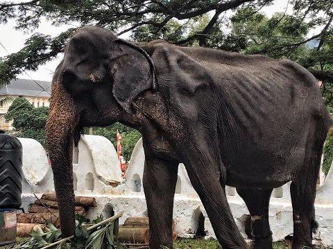 SKRØPELIG: Denne elefanten heter Tikiri og er 70 år gammel. Den gamle elefanten brukes under en festival på Sri Lanka, selv om hun egentlig ikke har helse til det, ifølge en stiftelse.
