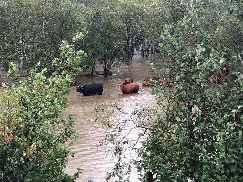 FANGET: Her er en gruppe kyr fanget i vannmassene. Det blir ikke satt i gang redningsaksjon for kyrne, da man må vente på at vannstanden går ned igjen.