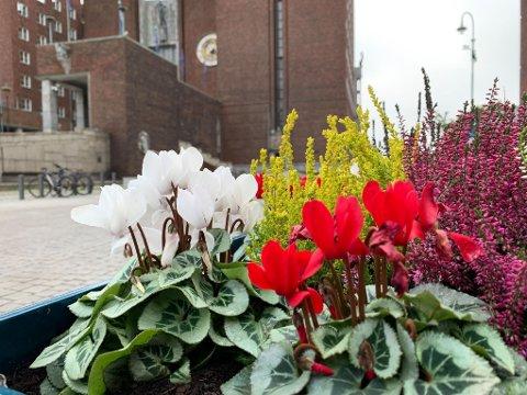 UTSATT: Alpefiolene som Oslo kommune har plantet blant annet utenfor rådhuset, tåler ikke mer en noen få kuldegrader før de dør.