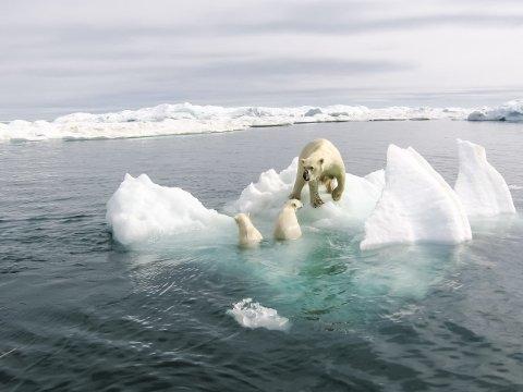 FANGET:I noen regioner er isbjørnene allerede fanget i en ord sirkel der minkende sjøis gjør at de får mindre tid til å jakte på sel, skriver forskerne i den nye studien. Foto: Getty Images