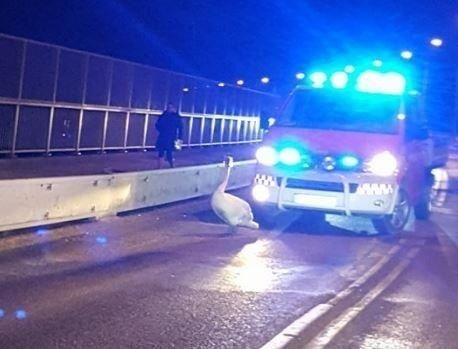 Denne svanen skapte trafikktrøbbel på Fredrikstadbrua tirsdag kveld og måtte jages bort av en brannbil med blålys.