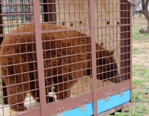 En av bjørnene som ble hentet fra stedet der en privatperson holdt dem uten tillatelse.