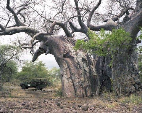 ELDGAMMELT: Dette massive treet er over 2000 år gammelt og befinner seg i Sør-Afrika. Kunstneren Rachel Sussman har reist verden rundt i ti år for å dokumentere verdens eldste levende organismer. Prosjektet er nå blitt en fotobok.