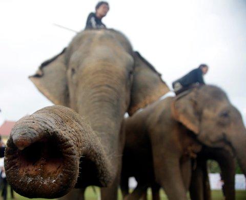 MINDRE AGGRESSIVE: Indiske elefanter er kjent for å være tammere og mindre aggressive enn sine afrikanske slektninger, men søndag ble en indisk elefant i Japan veldig hissig.