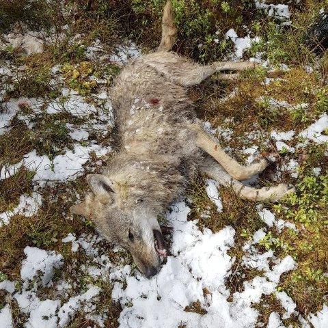 En hannulv er skutt på Enger i Søndre Land. Foto: Statens Naturoppsyn (SNO) / NTB scanpix