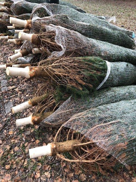 Årets juletrær i Toshovparken i Oslo er ankommet.