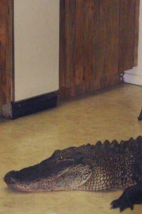 Alligator fanget på kjøkkengulv i Florida, april 2008