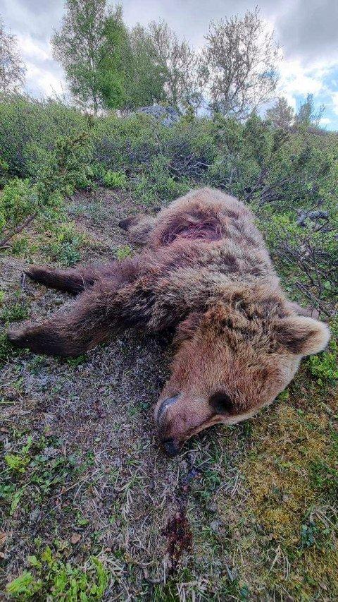 Denne bjørnen ble skutt i Vågå i juni. Nå blir saken henlagt av politiet. Foto: Statens Naturoppsyn / NTB