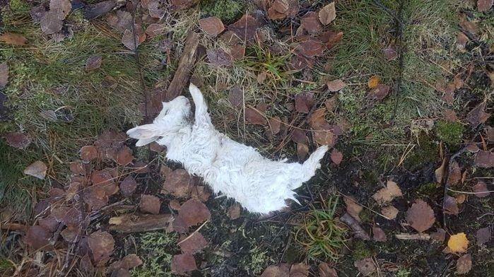 DØD: En av kaninene til Birte Larsen ble funnet slik som dette.